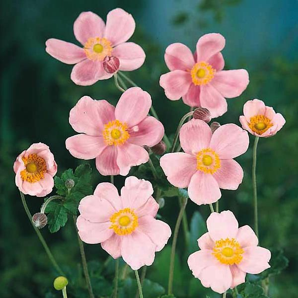 Anemone Seeds For Sale Perennial Flower Seeds Anemone Flower Flower Seeds Flowers Perennials