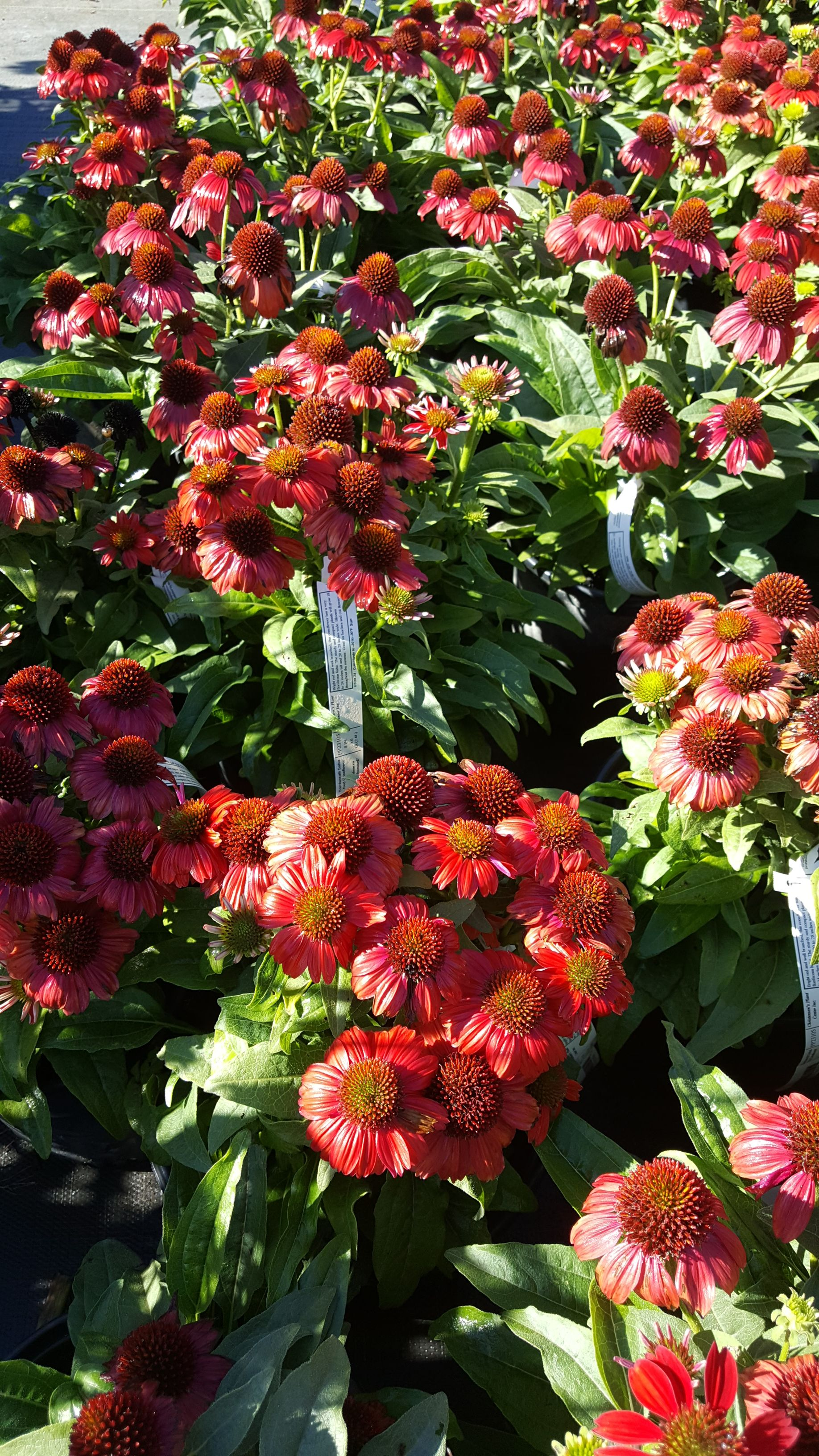 Salsa Red Coneflower Zone 4 Perennials Salsa Red Lawn Care,What Colours Go With Dark Green Sofa