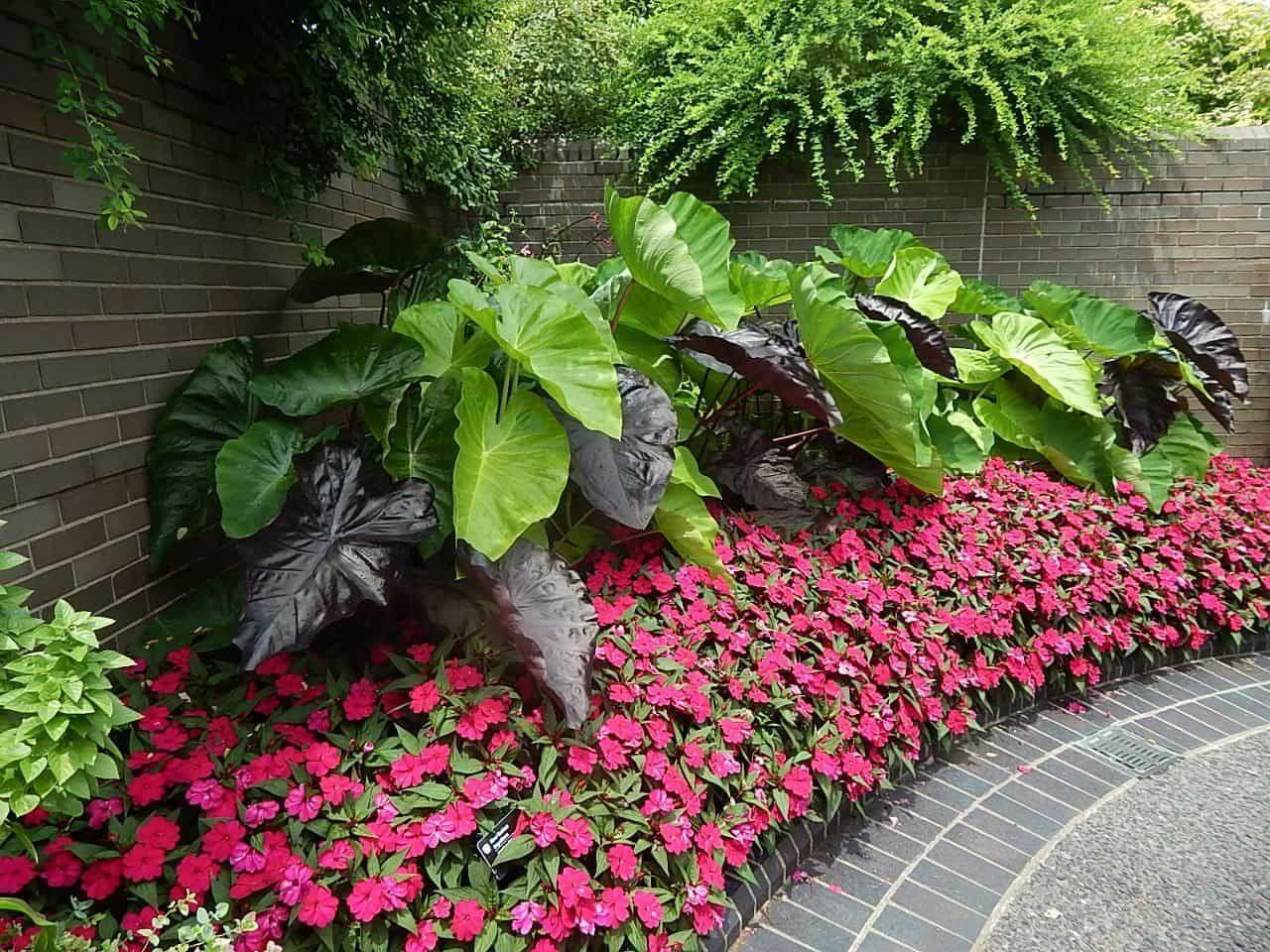 Corner Garden With Border And Elephant Ear Plants #elephantearsandtropicals