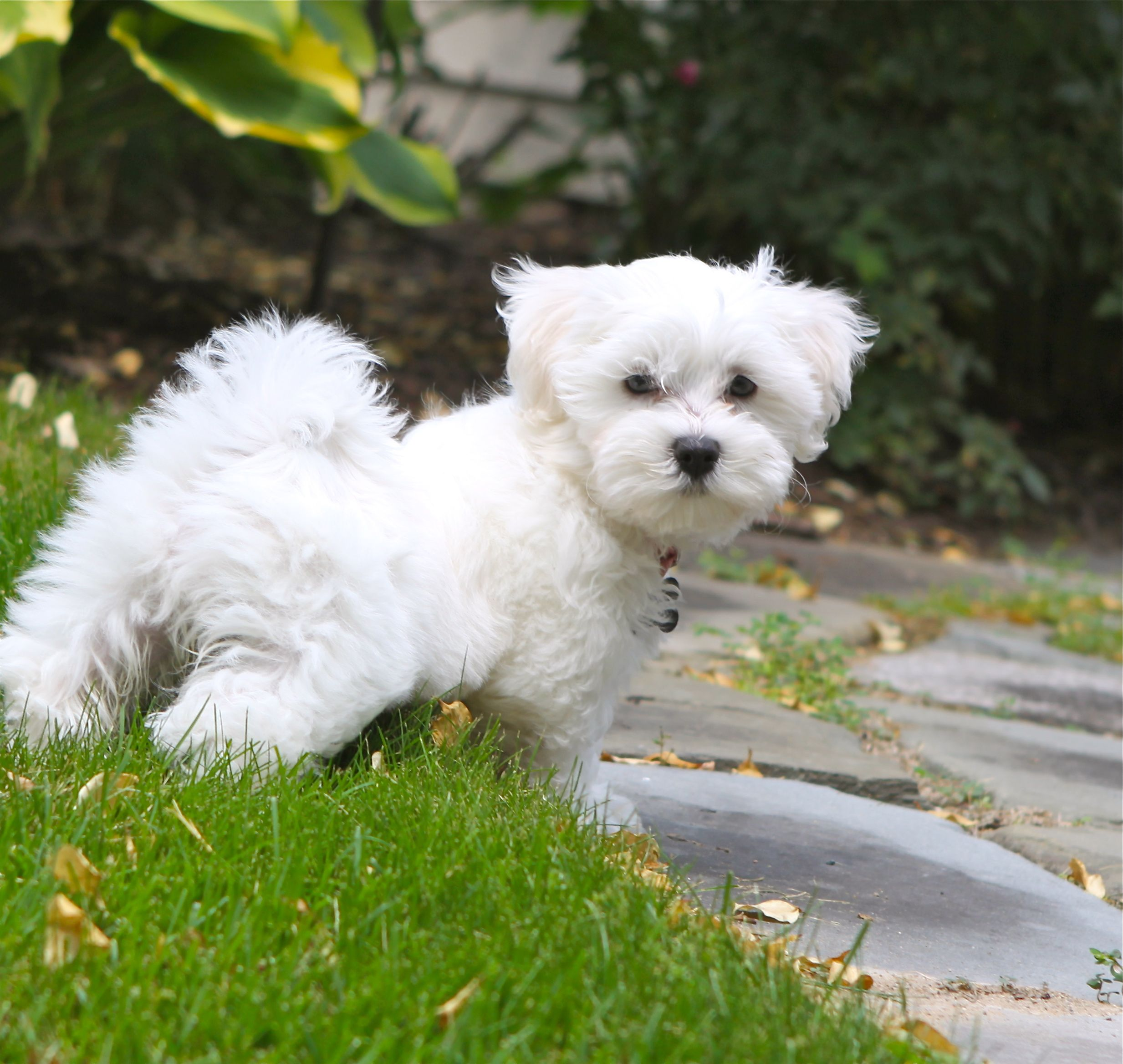 Maltipoo Puppy Looks More Like A Maltese Just Like Wylie With