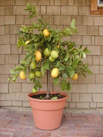 Eureka Lemon In Patio Container Citrus Plant Growing Indoors Growing Citrus