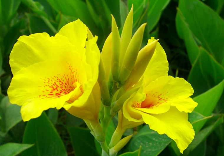Canna lily canna x generalis yellow king humbert plants miami big picture of yellow flower canna lily image size 800 x more flower pictures on this website mightylinksfo
