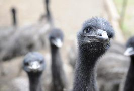 Emu oil is prized as an odorless anti-inflammatory skin supplement. With a creamy consistency, it's readily absorbed through the skin and contains essential and beneficial fatty acids. Emu oil is used as an emollient in cosmetic products and may help reduce the appearance of aging. Emu oil comes from the fat of the bird.