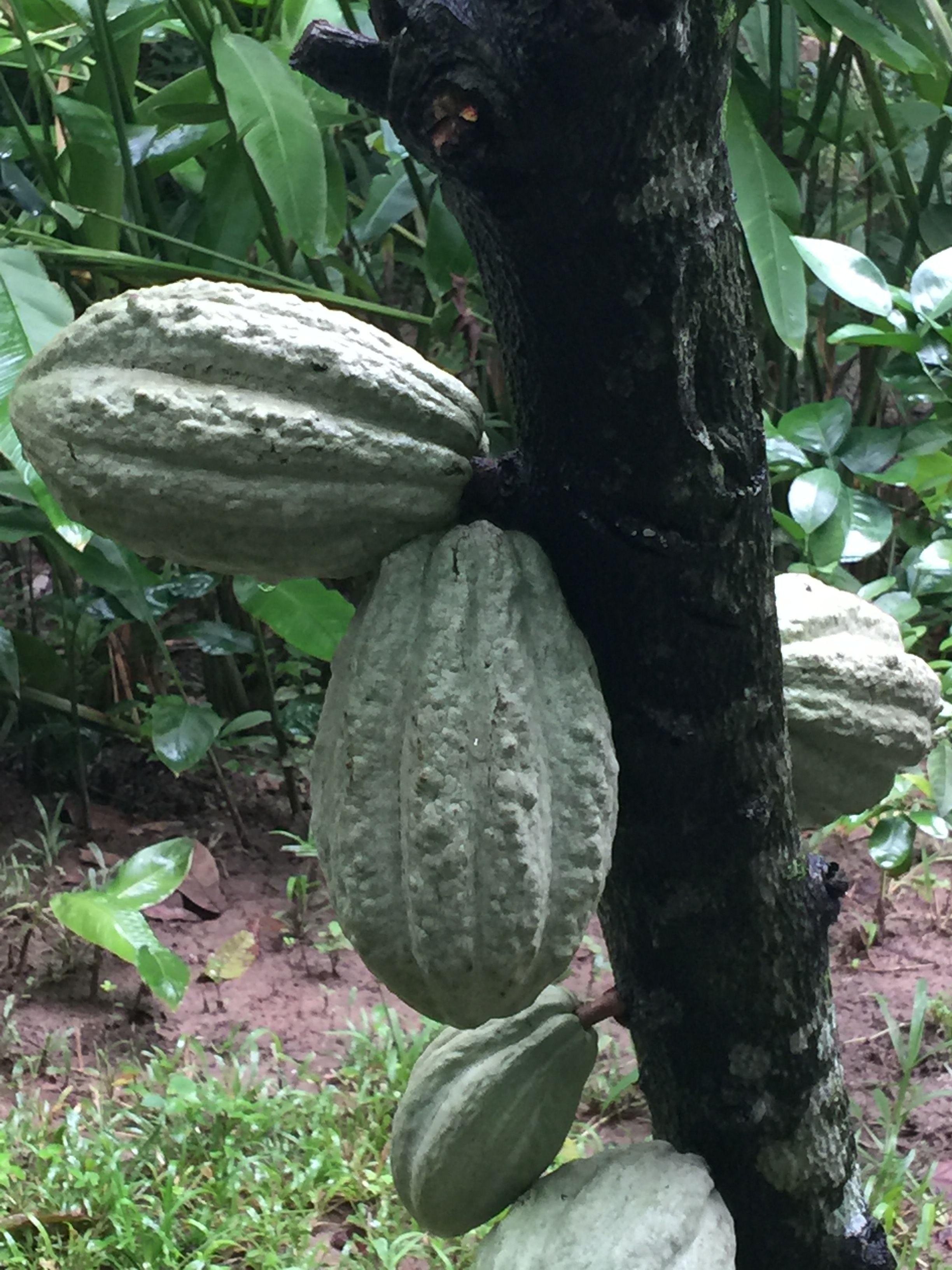 Cacao, Comalcalco