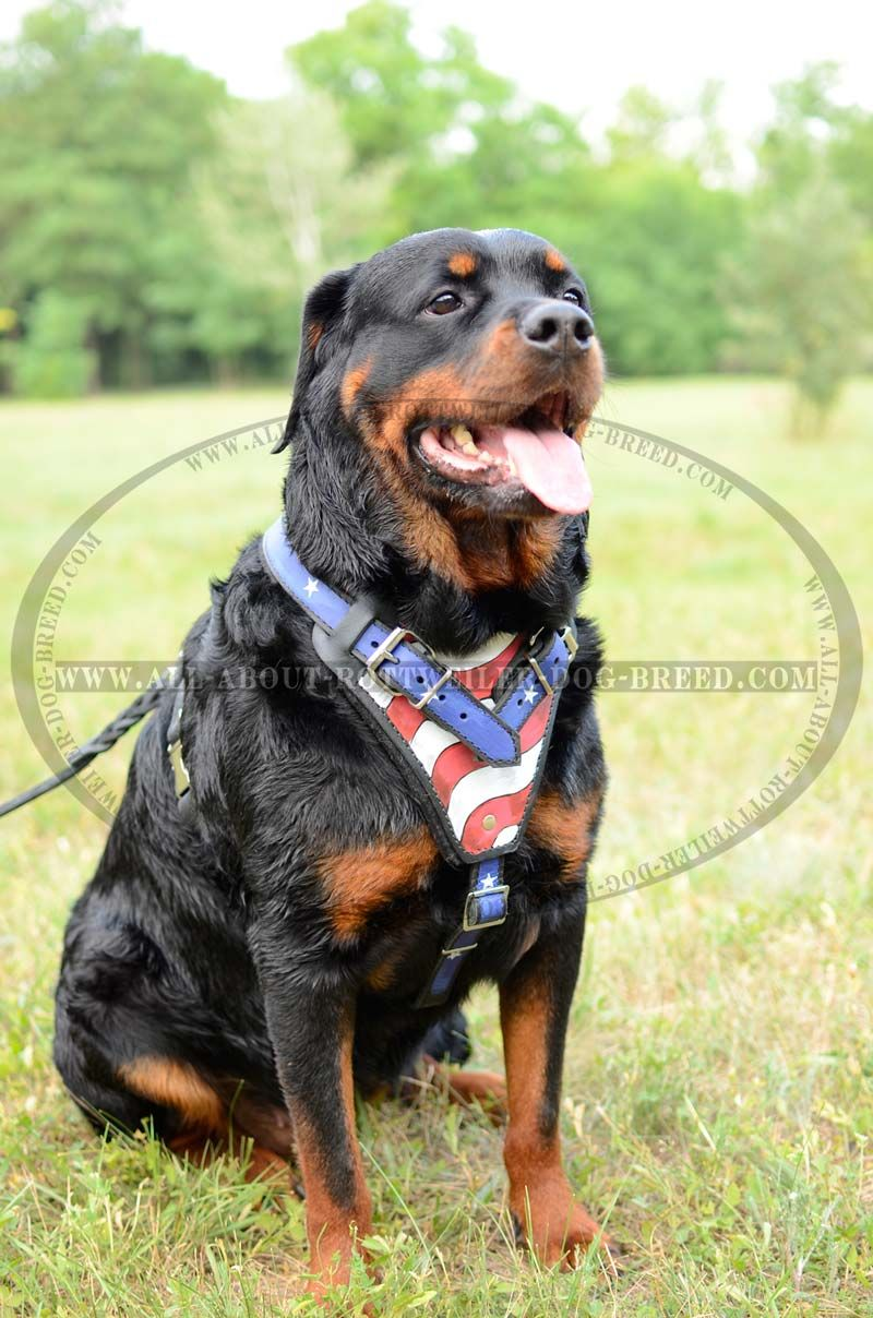 Leather #Dog #Harness with American Flag Painted Chest Plate $159.90 ... for Rottweiler Dog Attacking People  157uhy