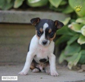 Rat Terrier Puppies Dayton Ohio Rat Terriers Terrier Puppies Cute Baby Animals