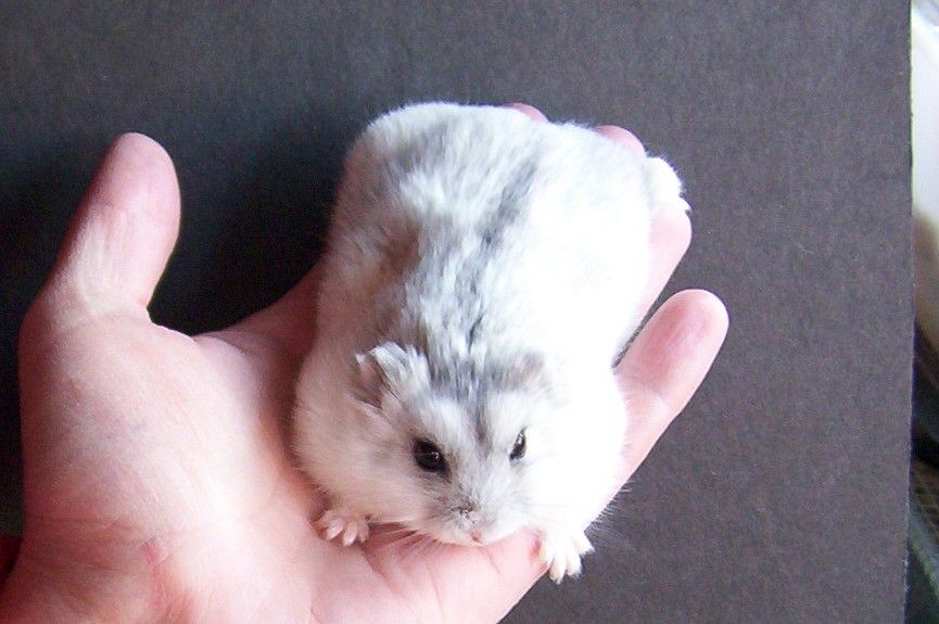 About Winter White Hamster Types Care And Food Listing Goodmorning Winter White Hamster Dwarf Hamster Hamster Care