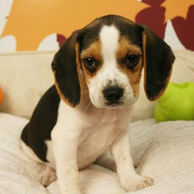 Cute Beagle Puppies Beagle Puppies Beagle Puppy Cute Beagles