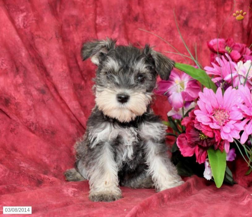 Miniature Schnauzer Puppies For Sale Lancaster Puppies Miniature Schnauzer Puppies Schnauzer Puppy Lancaster Puppies