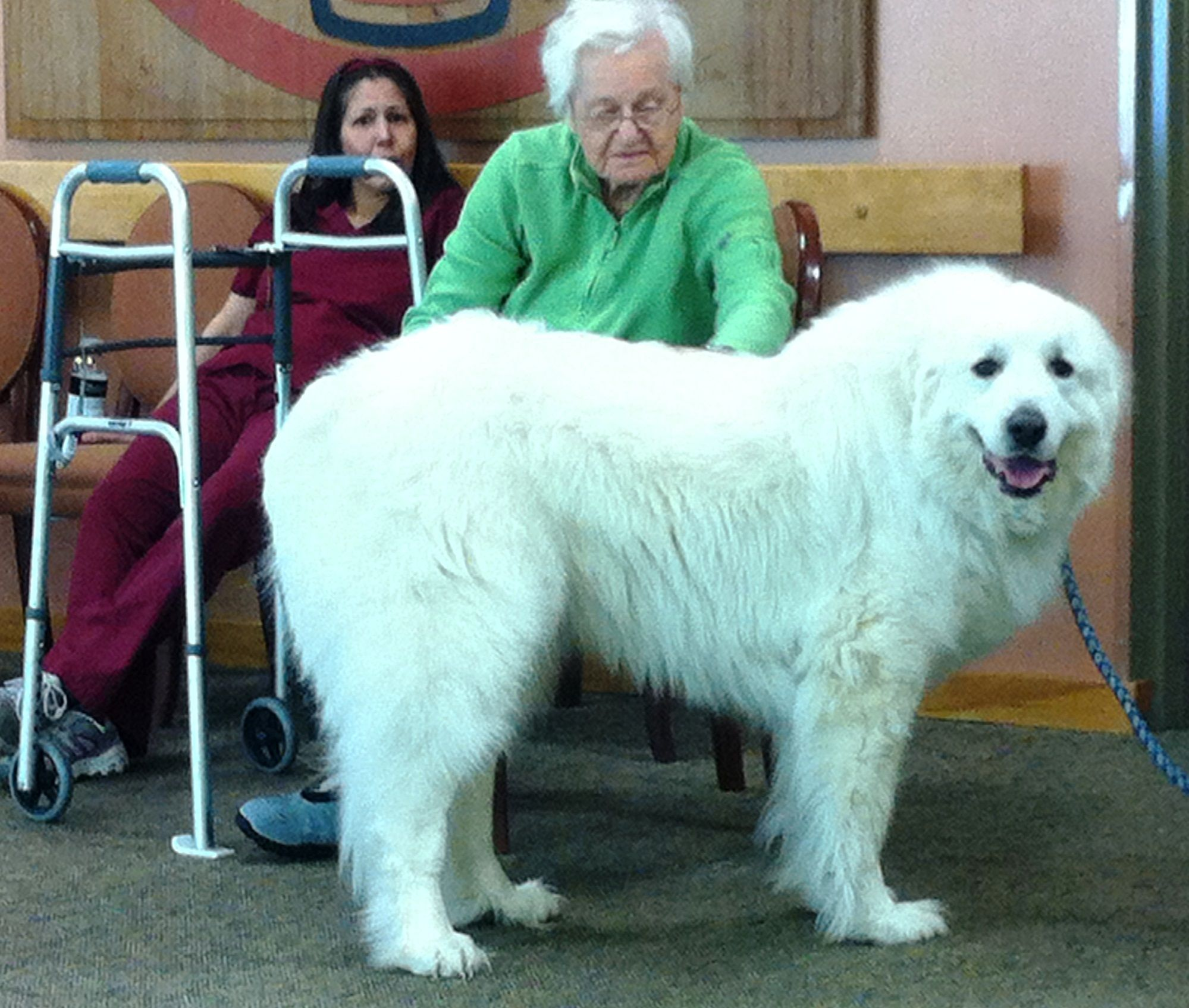 Great Pyrenees Tinker Bell If The Ears Were Just A Bit Badgered
