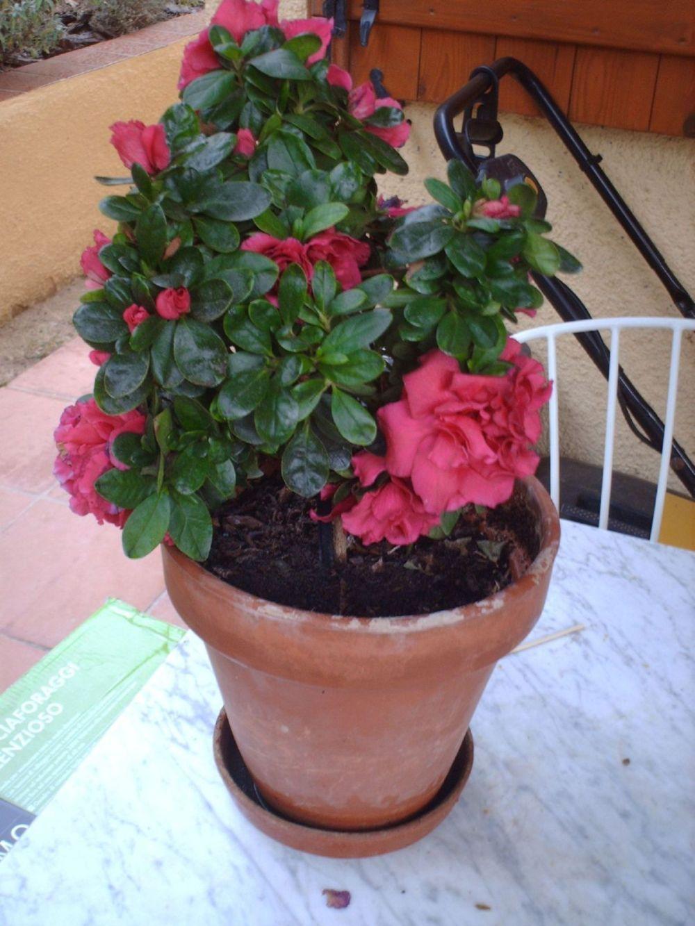 Como hacer esquejes de azaleas jardin pinterest - Azalea cuidados planta ...