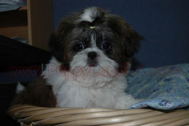 Shih Tzu Shih Tzu If You Re Sick Of Coming Home To Find That Your
