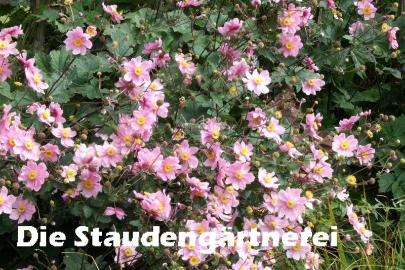 Hortensien Im Schatten anemone a elegans serenade 3 00 für neben den