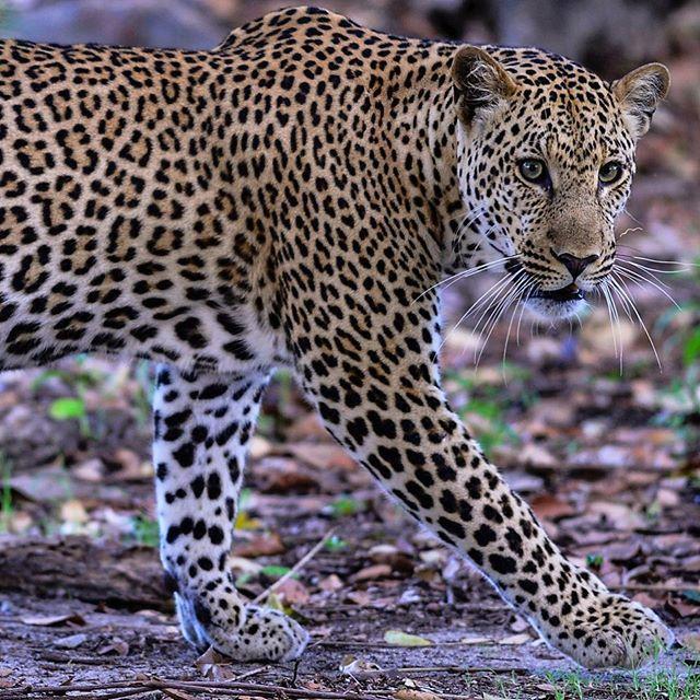леопард животное фото чем отличается от ягуара осведомить вас том
