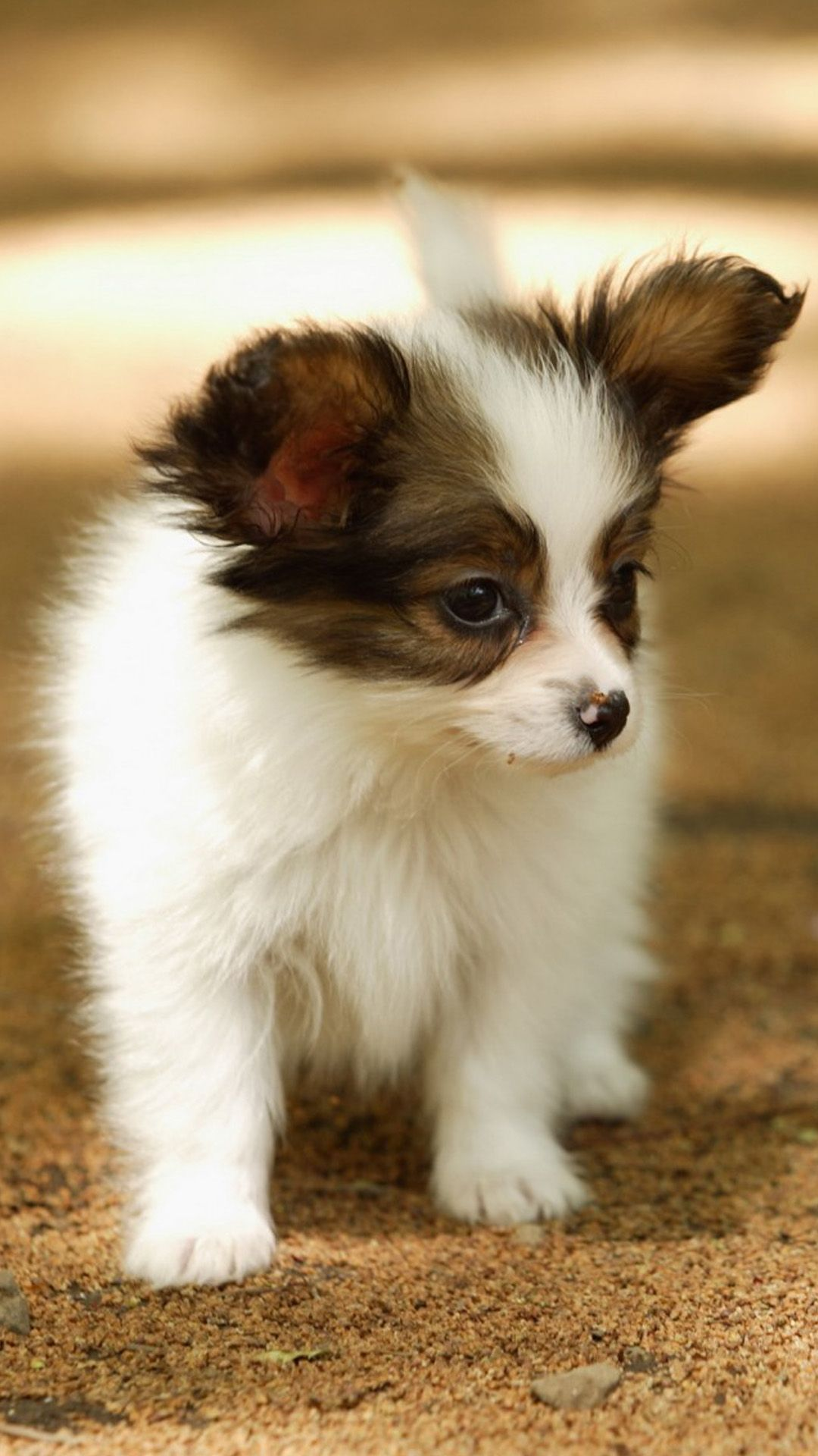 Cute Lovely Puppy Walking Dog Animal Iphone 6 Wallpaper Cute Dog Wallpaper Cute Animals Cute Cats And Dogs