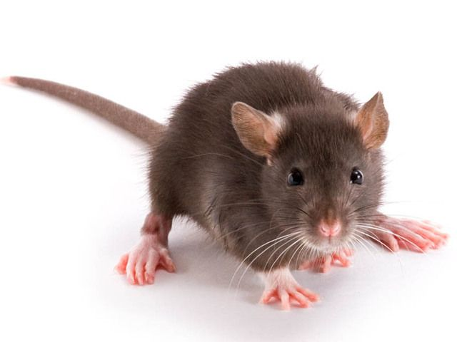 17 Best images about Rambunctious Rats on Pinterest | Pets, Martin ...