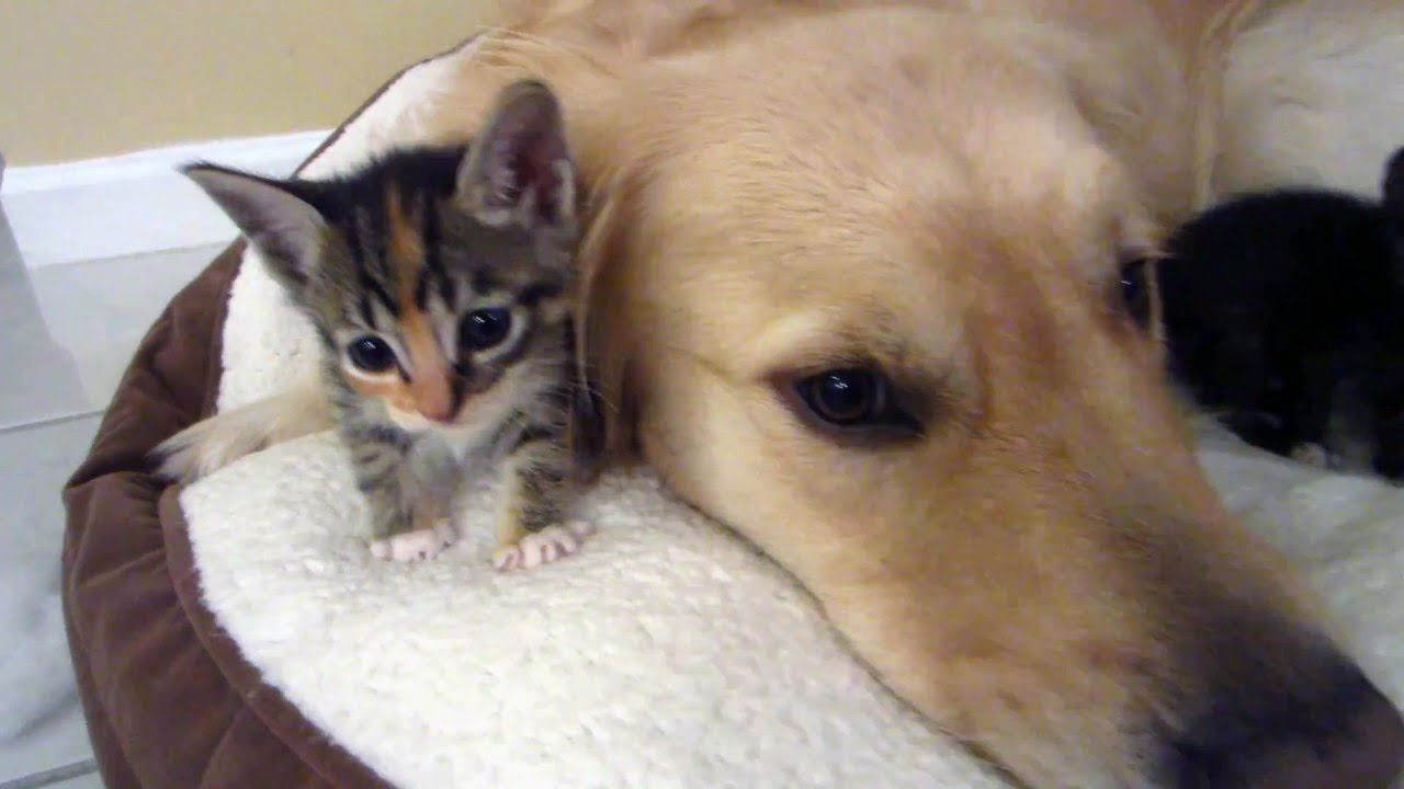 Big Dog And Tiny Kitten Meeting Compilation Cute Dogs And Cats Funnypetvideos Funnyanimals Kitten Love Cute Cats And Dogs Big Dogs