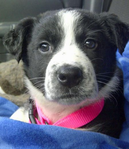 The Daily Puppy Chevy The Border Collie Mix Border Collie Mix
