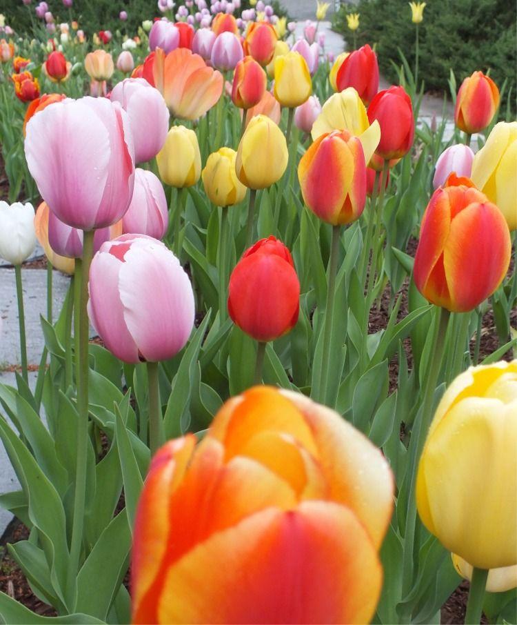 Tulip Mixtures Bulb flowers, Tulips flowers, Tulips