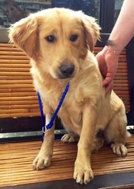 Adopt Archie On Dogs Golden Retriever Retriever Dog Animals