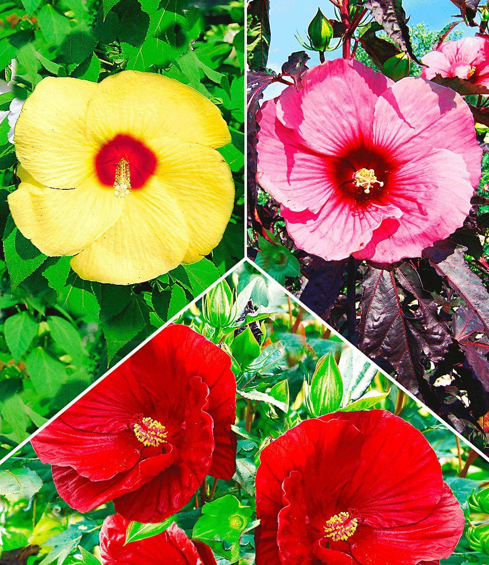 Hibiskus Stauden Farb Mix Garten Pinterest