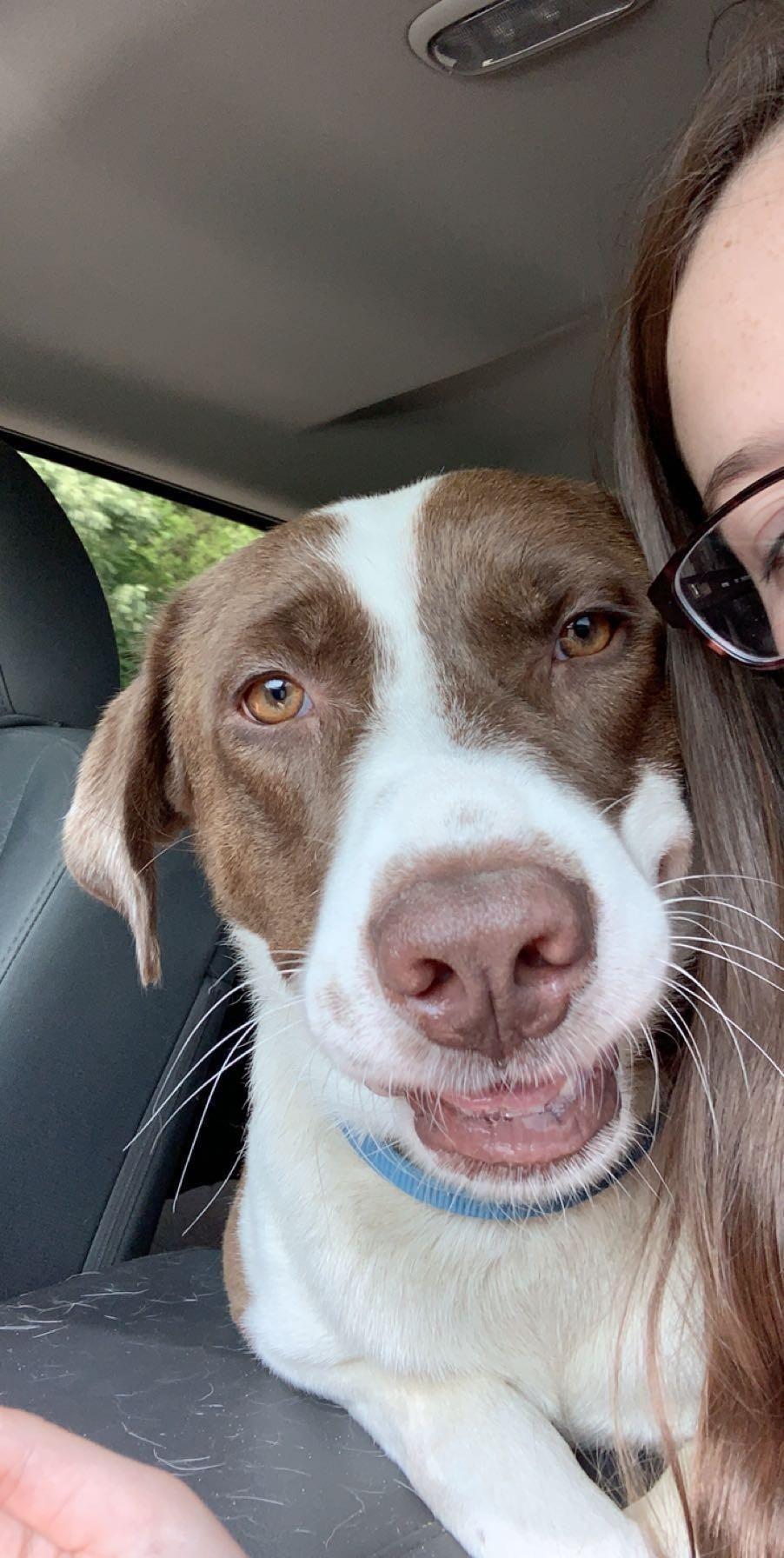 Adopt Wally on Adoption, Labrador retriever dog, Dogs