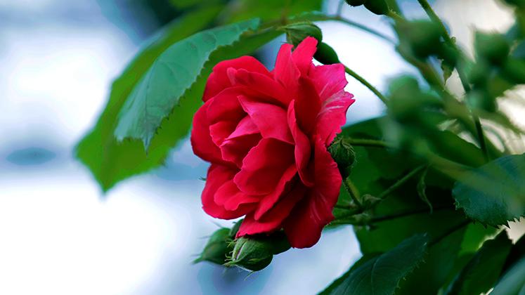 6월의 장미 꽃 사진 2020년의 장미 사진 2장 꽃 사진 장미 꽃 꽃