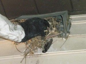 That Noise May Be A Bird In A Vent Effective Wildlife Solutions Attic Vents Wildlife Bonsai