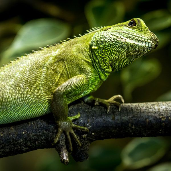 Chinese Water Dragon, Someday I Am Going To Get One