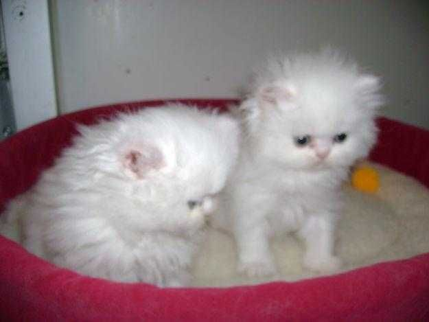 Teacup persian cats for sale in chicago