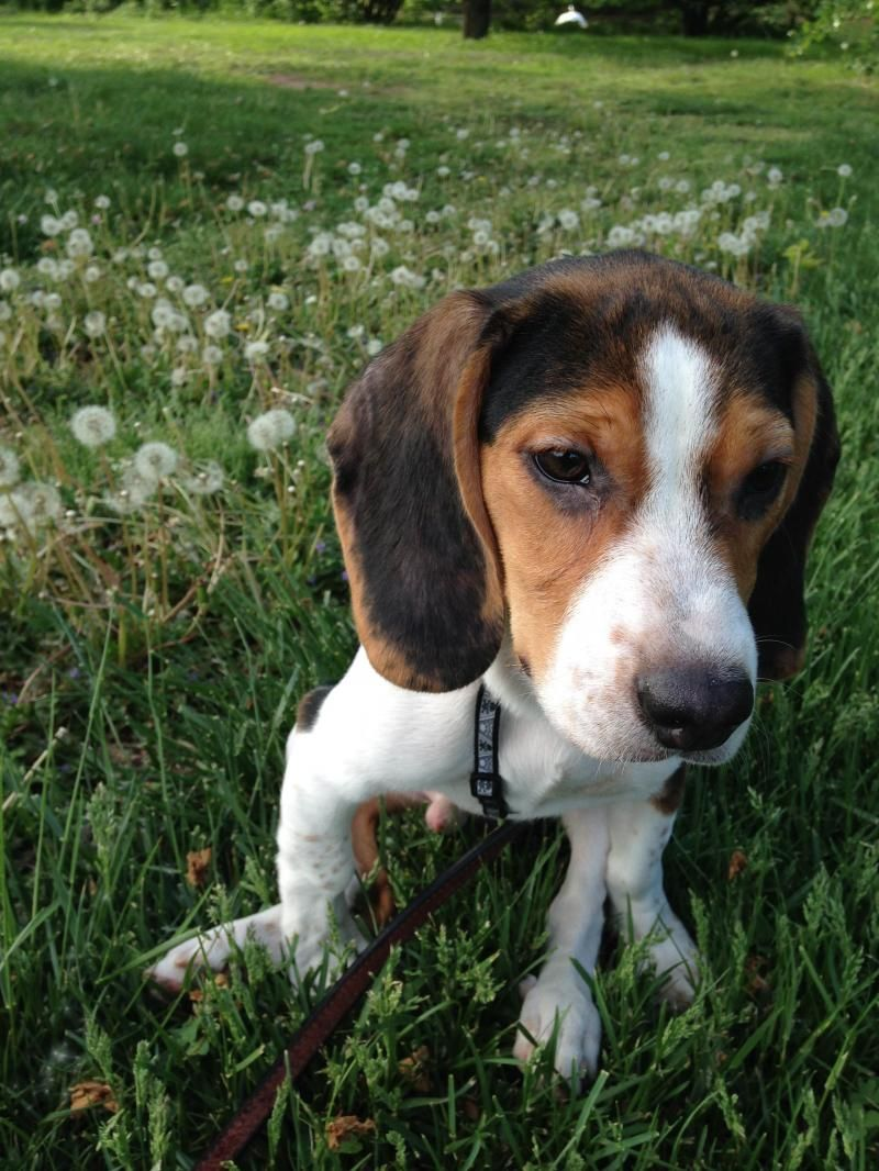 Adopt cody on petfinder adoptable beagle beagle dog