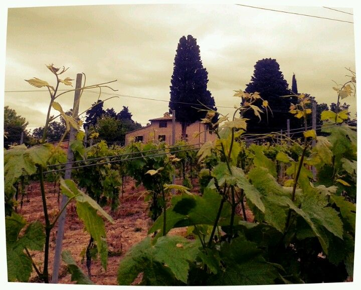 Let's have a walk in the vineyard #country #umbria #italy #vineyard