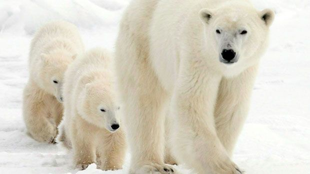In fall pregnant polar bears make dens in earth and snowbanks, where they'll stay through the winter and give birth to one to three cubs. In spring the mother emerges from her den followed by her cubs. Generally, she will nurse them for two and a half years. During that time she will protect them and teach them how to hunt.