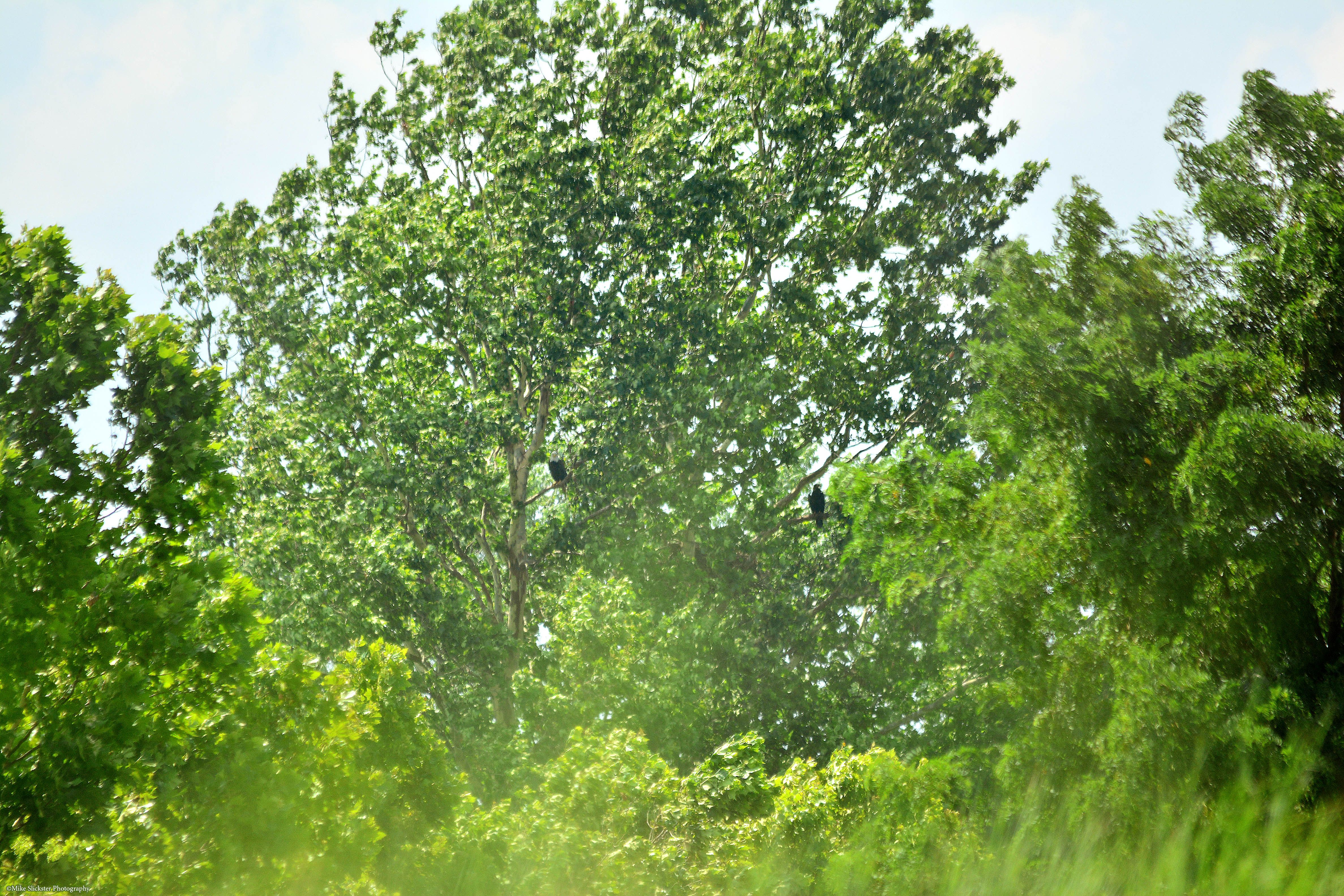 10th July 2017: when I first arrived at the back trail on the way to the confluence of Pennypack Creek with the Delaware River, I noticed an adult and a chick in the sycamore tree, off in the distance.