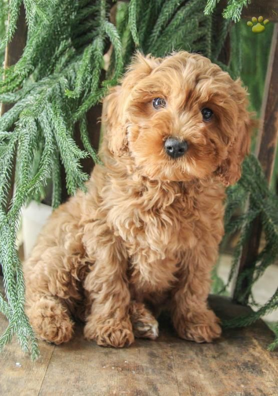 Tootsie Cockapoo Puppy for Sale in Lewisburg, PA