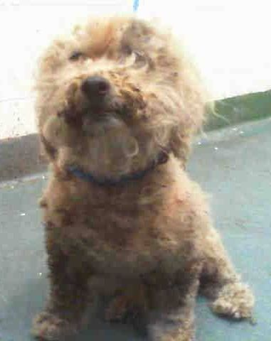 SAFE --- ABBY (A1692985) I am a female apricot Poodle - Miniature. The shelter staff think I am about 9 years old. I was found as a stray and I may be available for adoption on 04/23/2015 Miami Dade https://www.facebook.com/urgentdogsofmiami/photos/pb.191859757515102.-2207520000.1429477151./964998080201262/?type=3&theater