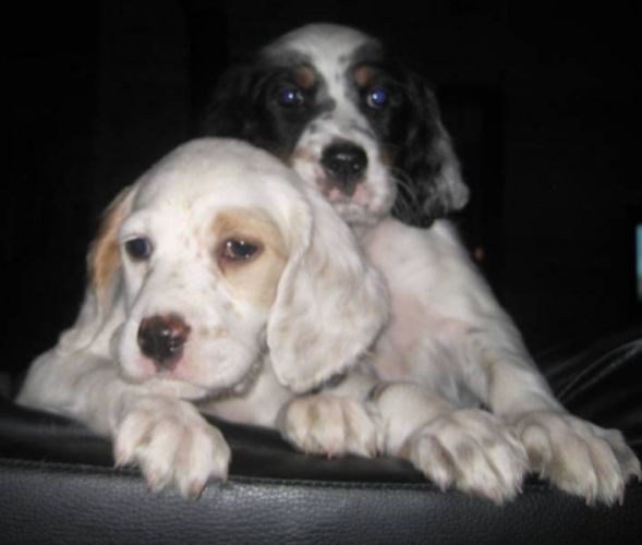 English Setter Puppies For Sale To Go New Price In Worthington
