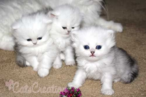 Teacup Persian Cats Teacup Kittens & Cats Around The