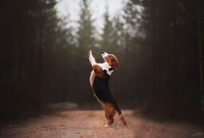 Animal Beagle Dogs Dog Pet Depth Of Field Hd Wallpaper Wallpaper Grab Wallpa 4k In 2020 Beagle Dog Pet Dogs Animals