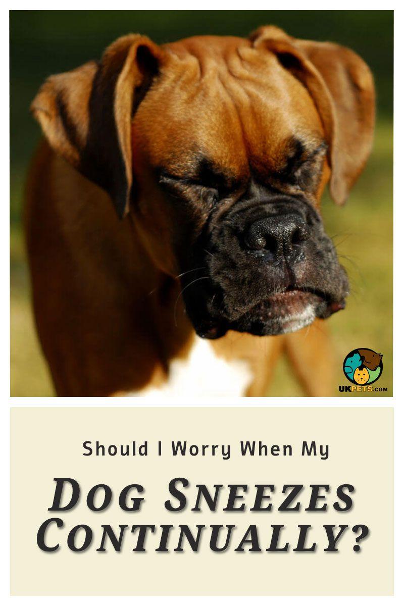 My Dog Keeps Sneezing Should I Worry Dog Sneezing Dogs My