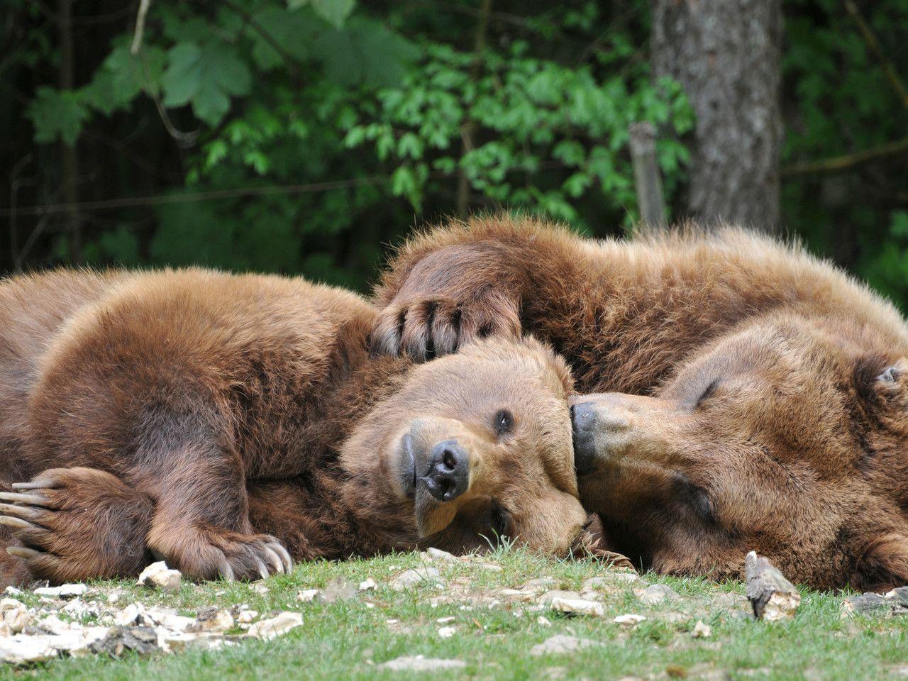 Смешные картинки с медведями которые спят