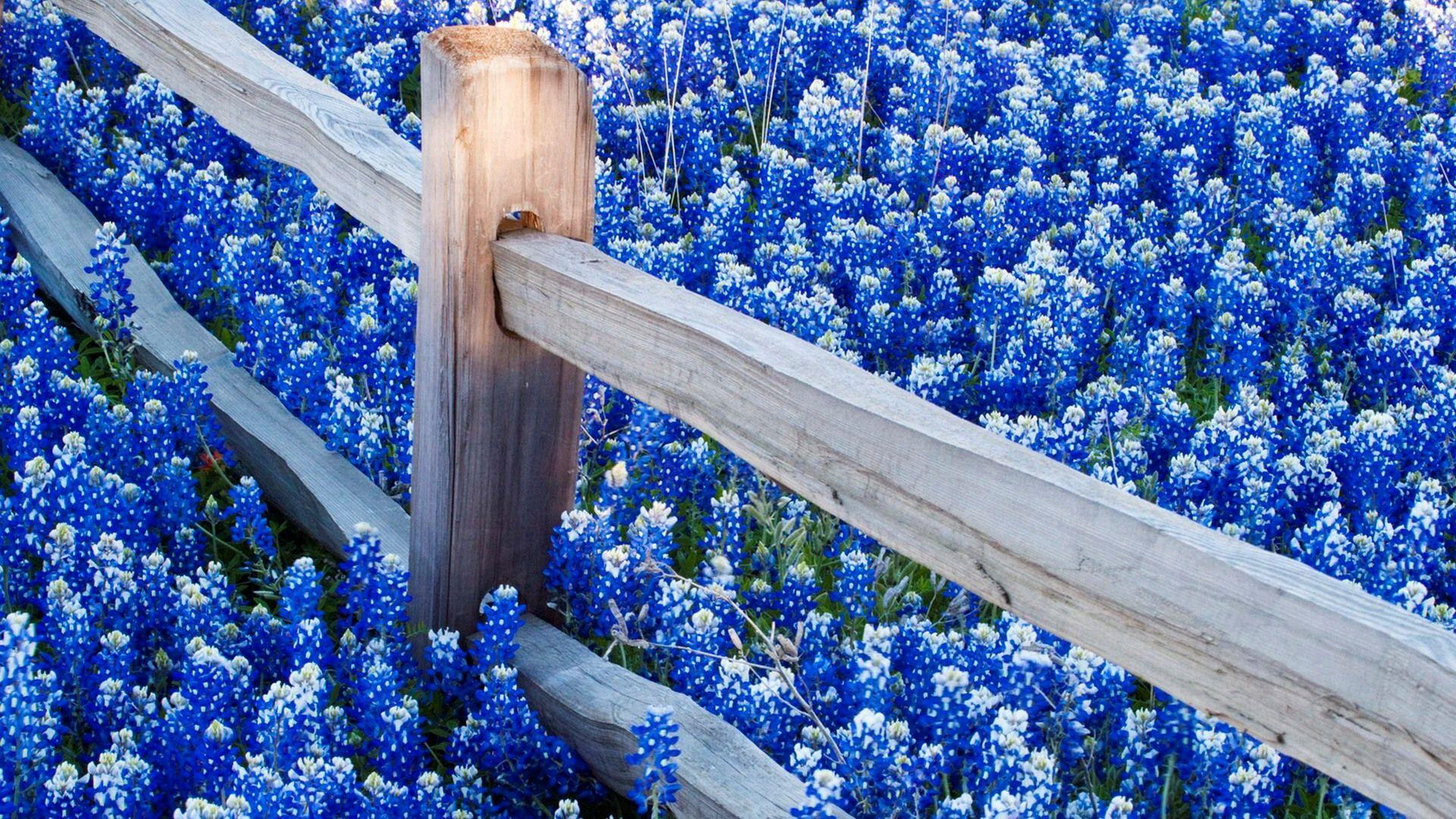красивая картинка с синими цветами поделитесь своей