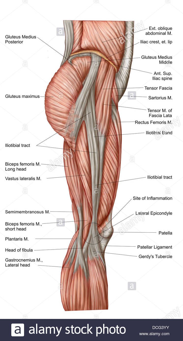 Leg Muscles Anatomy Muscles Of The Upper Leg Anatomy Hd Wallpaper