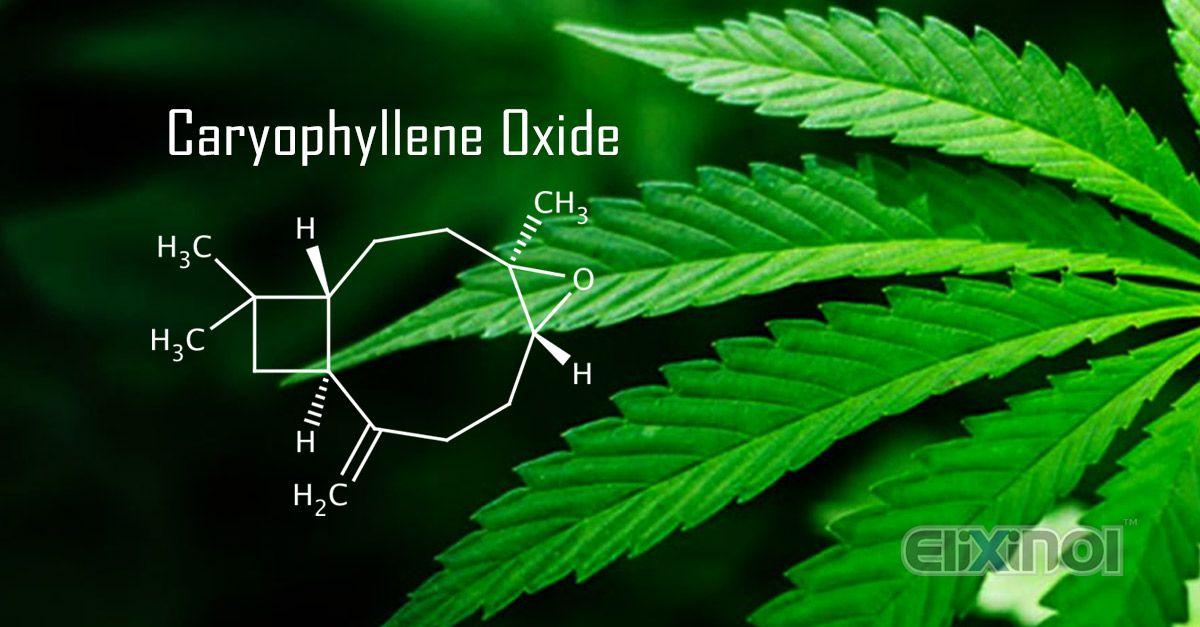 Terpenoids in Hemp: Caryophyllene Oxide - https://elixinol.com/blog/terpenoids-hemp-caryophyllene-oxide?utm_source=rss&utm_medium=Friendly+Connect&utm_campaign=RSS #cbd #hemp