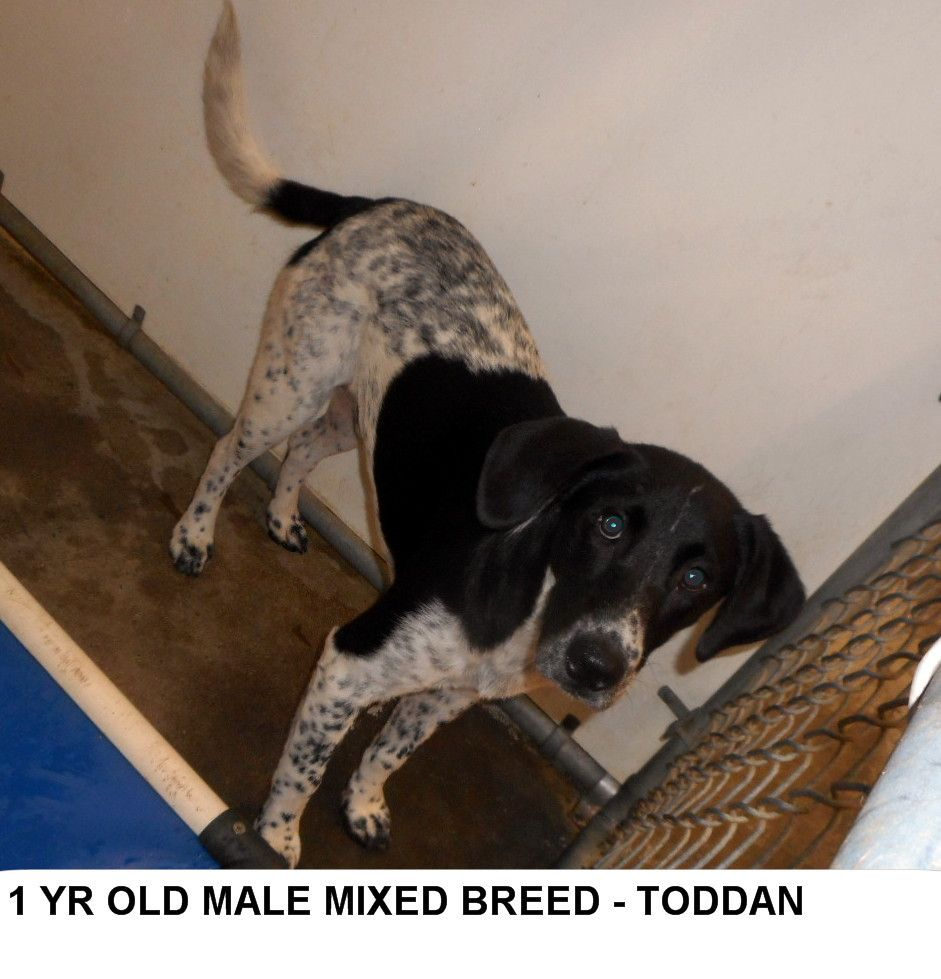 Toddan is a pretty brown, white and speckled boy who is