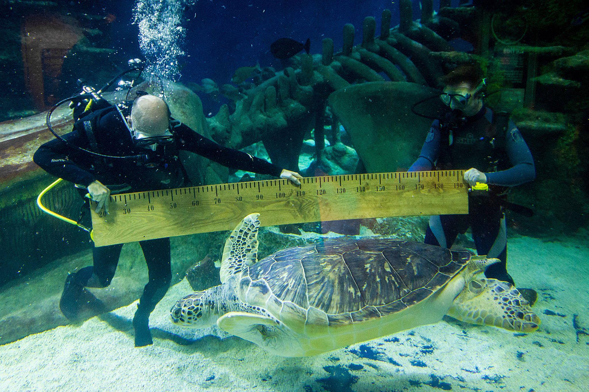 A huge Sea Turtle at Sea Life Aquarium London