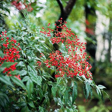 Heavenly Bamboo Features Fine Textured Foliage Striking Red Berries And Bright Fall Color Nandina Plant Broadleaf Evergreen Plants