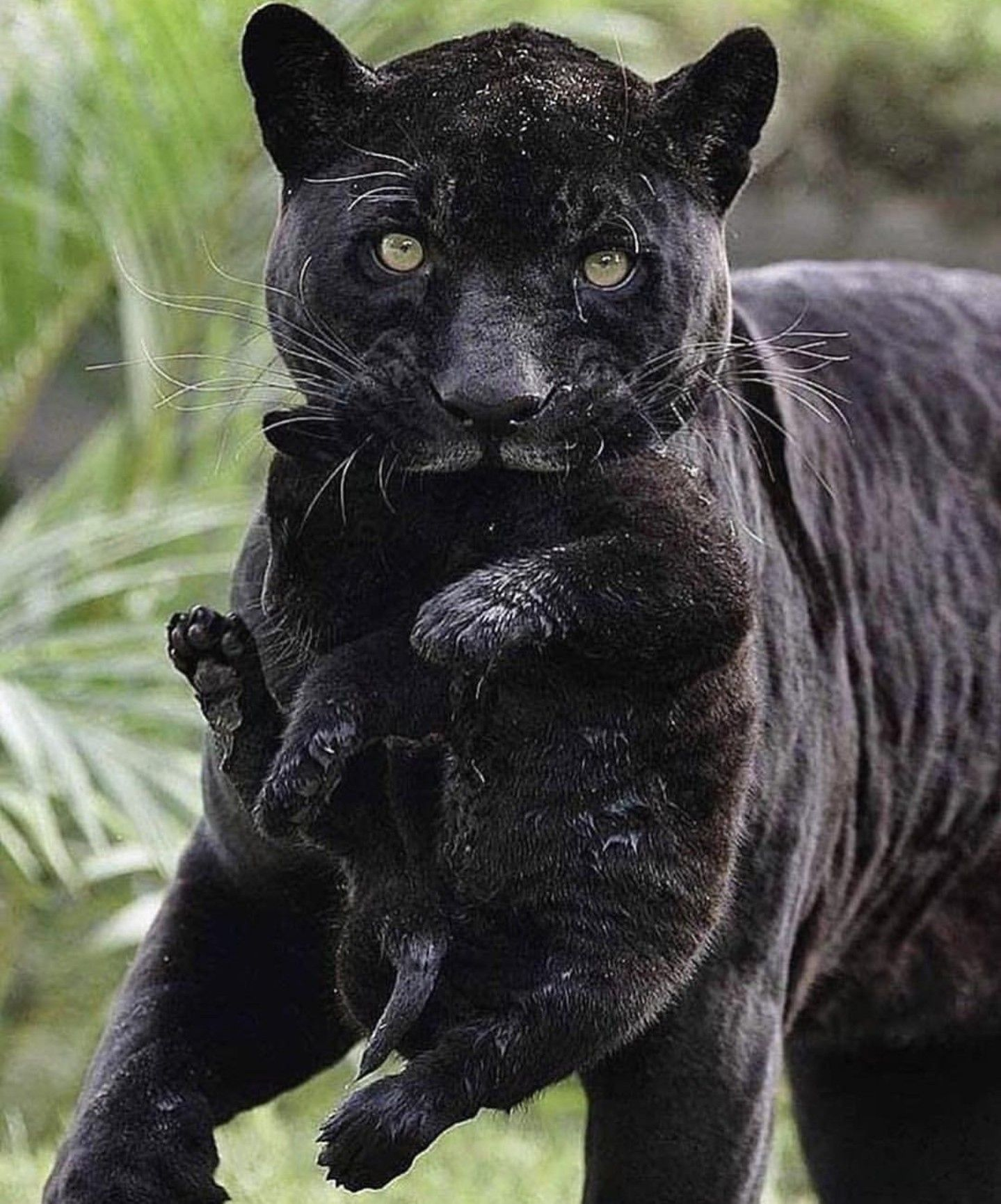 Pin by Honey Bee on Black =^..^= Black jaguar, Animals