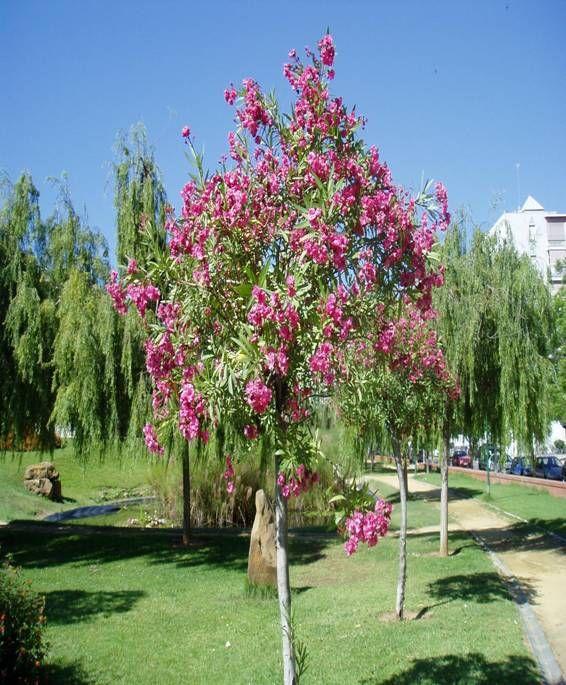 Laurel rosa plantas costa peru pinterest arbustos bonsais y plantas nativas - Laurel de jardin ...