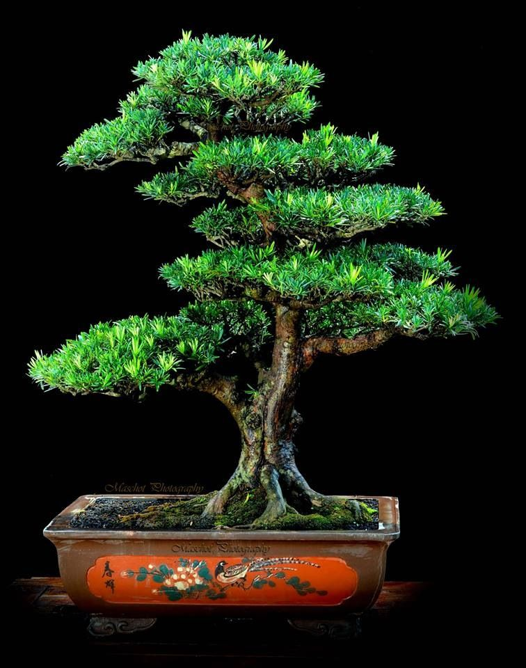 Bonsai Miniature trees, Bonsai, Bonsai meaning